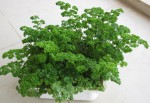 Growing-Parsley