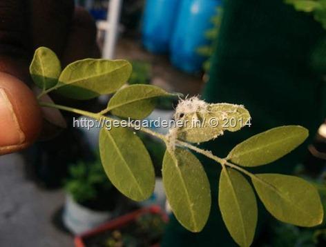 Whitefly larvae, pupa