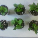 Chrysanthemum cuttings
