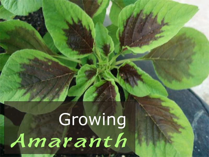 How To Grow Amaranth Plant In Your