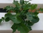Growing Arugula - How to grow arugula from seed