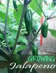 Growing Jalapenos - How to Grow Jalapeno Plant
