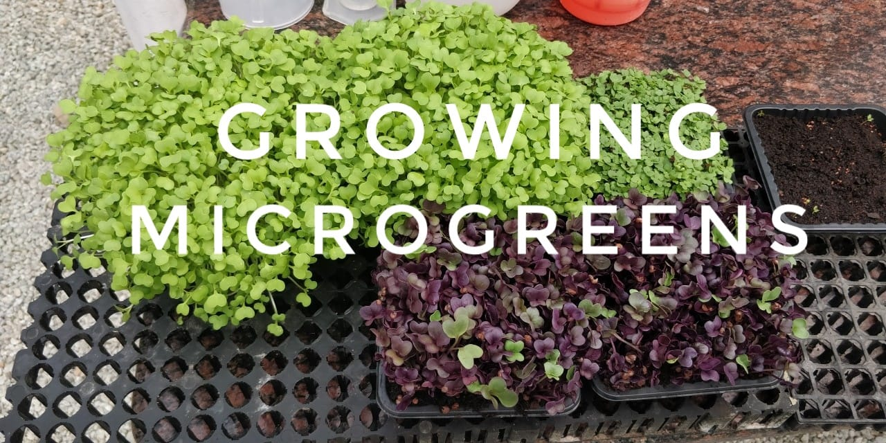 Growing Microgreens in India