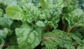 Growing Swiss chard in your garden