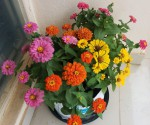 Growing Zinnias - How to grow ZInnia flowers