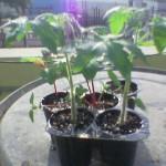 Tomato seedling.