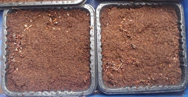 microgreens tray seeds germination