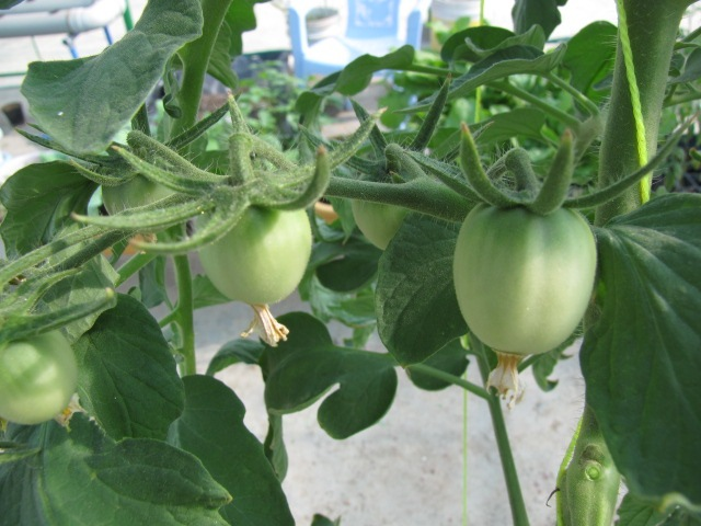 growing tomatoes in grow bags