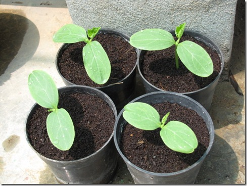 beit alpha cucumber seedless seedlings