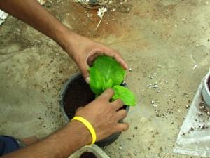 Propagating Hydrangeas from cuttings