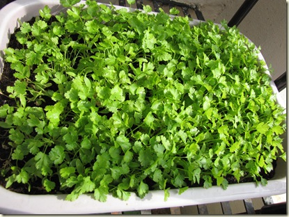 Growing Coriander - How to grow coriander