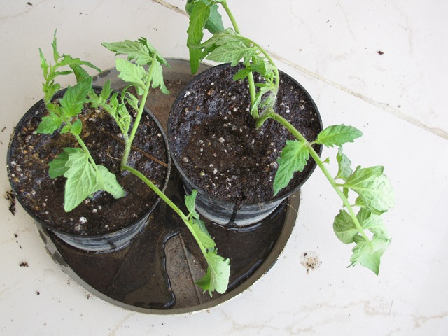 propagating tomato plant from cuttings  howto  urban gardening, Natural flower