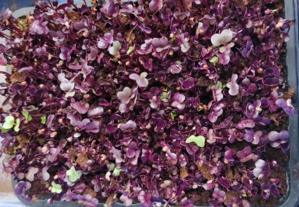 Radish Red Sango Microgreen Seeds