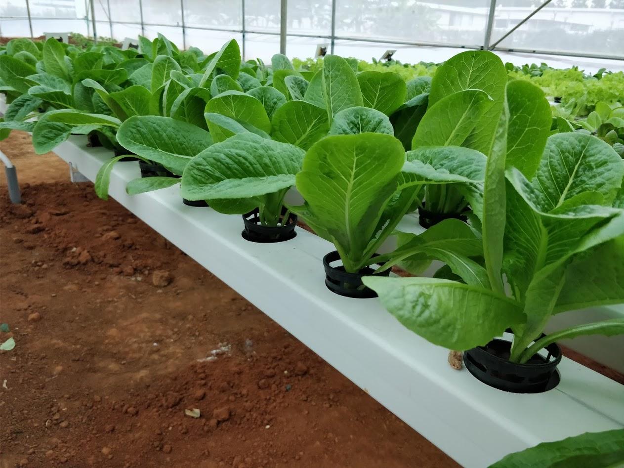 romaine lettuce cos lettuce