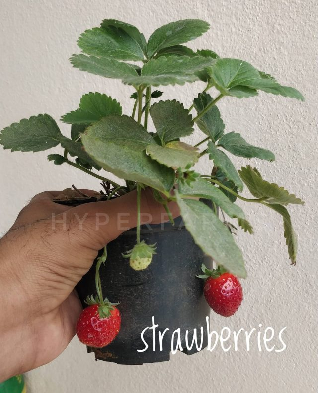 Strawberries (in case you didn't know 😂)  Last year, I got these plants. My wife and kid managed to keep it growing and occasionally we get a fruit or two. Now that the weather is pleasant, I am hoping to get more of these.  Trivia: strawberry belongs to the same family as that of Rose.  . . . . . . . .  #strawberry #strawberries #fragariaananassa #fragaria #gardenstrawberries  #gardeningwithkids  #growyourownfood #farmfresh #farmtofork   #hydroponics  #instafarm #urbanfarmer #soilless #urbanfarm   #agritech #agtech #horticulture #hydroponicsystem #greenhousegrown #plantaseedday #foodsecurity #iamamodernfarmer #modernfarming #growers #urbanagriculture #growingfood #realfood #cleaneating #plantbased