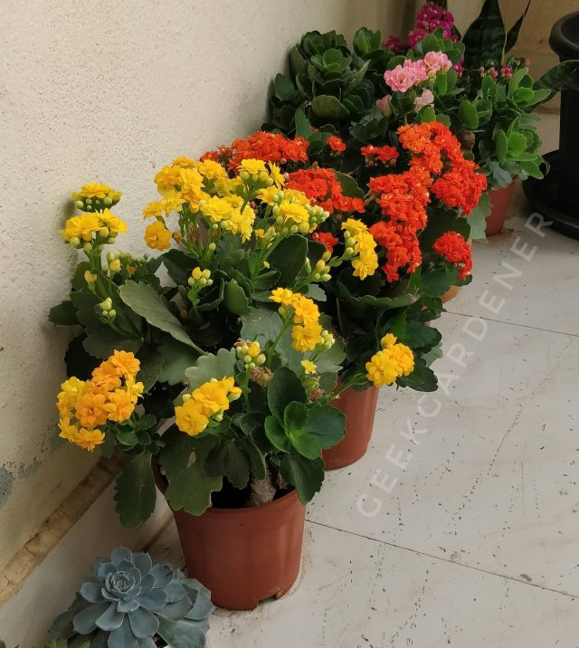 "My balcony right now  #kalanchoe is one of the best flowering plants  for balconies. Their flowers last long and they come in dashing colors.  One thing though, watch out for #redpierrot butterflies. Like you, they love #kalanchoes too. They love so much they eat it.  I feed these plants with ""General bloom fertilizer"".  You can get it from Gardenguru.in  . . . . . . . .  #saturday #bangaloregram #flowersofindia #saturdayvibes #bengalurudiaries #balconygarden  #harvest #hydroponics  #instafarm #urbanfarmer #soilless #urbanfarm  #gardenguru #chef #growwithme  #agritech #agtech #horticulture #hydroponicsystem #greenhousegrown #plantaseedday #foodsecurity #iamamodernfarmer #modernfarming #growers #urbanagriculture"