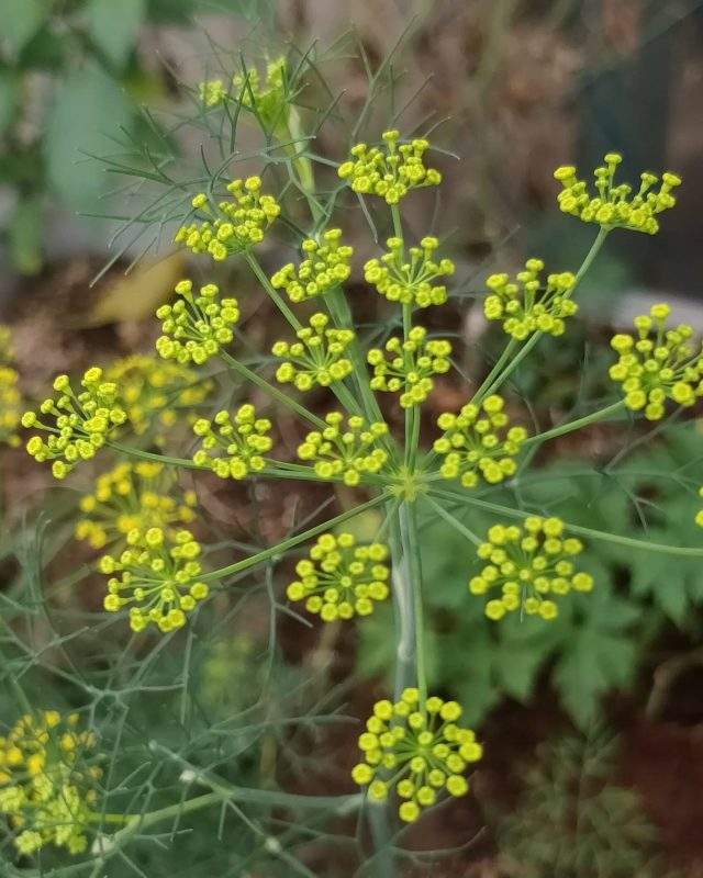 Dill from flowers to seeds  Its always fascinating to see the journey of flowers to seeds.  Do You know? Dill belongs to the same family as carrots?  Swipe to see the seeds pic  Dill seeds are great as mouth fresheners. Try popping some. . . . . #growyourownfood #farmfresh #farmtofork  #harvest #hydroponics  #instafarm #urbanfarmer #soilless #urbanfarm  #gardenguru #chef #cooking  #agritech #agtech #horticulture #hydroponicsystem #greenhousegrown #plantaseedday #foodsecurity #iamamodernfarmer #modernfarming #growers #urbanagriculture #growingfood #realfood #cleaneating #plantbased  #dill #sabbakki