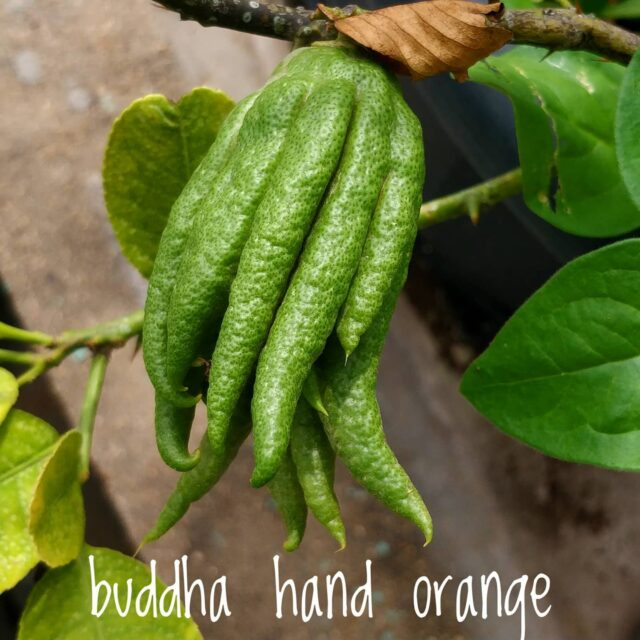 "Buddha's hand orange  This is one of those plants i have been waiting for to produce since fruits. My patience is paid off.  Citrus medica var. sarcodactylis, as it is called botanically, is a fruit belonging to the citrus family.  There are many varieties to this. Open handed varieties will have the finger like structures in the fruit more spread out. The one I have is semi open or semi closed.   If you cut open this fruit, suprise!! No pulp. At all. No juice either.  I got a hint of ""have no expectation in life, you will be happy""  It's all white pithy stuff. Very flavorful.  I don't bake. So not sure what to do with them.   If you have a recipe but no fruit. I can give the fruit to you.  Once it's ripe,I will give a shout, you can have it dunzo'd to your place.  That's all.  Enjoy your Sunday!  . . . . . .  #buddhahandlemon #buddhahandcitron #citrusmedica #citrusmedicasarcodactylis #yougrowyourownfood #farmfresh #farmtofork  #harvest #hydroponics  #instafarm #urbanfarmer #soilless #urbanfarm  #gardenguru #chef #cooking #veganfood #agritech #agtech  #hydroponicsystem #greenhousegrown #plantaseedday #foodsecurity #iamamodernfarmer #modernfarming #growers #urbanagriculture #growingfood  #citrusmedica #buddhahandorange"