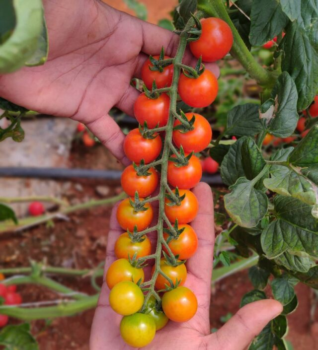 No . I won't stop posting cherry tomato pictures 😂😂  What I love about this picture is the gradient of colours from ripe to unripe to uniform and so gradual.  There is no such thing called too many pics.  These are also ultra sweet.   . . . . . . #plantaseedday #growyourownfood #farmfresh #farmtofork #salad #farm #hydroponics #picoftheday #photo #urbanfarm #nature #instafarm #garden #green #fresh #urbanfarmer #soilless #smallfarm #tomatoes #urbanfarming #gardenguru  #tomato #tomate #cherrytomatoes  #nammabengaluru #bengalurudiaries #instabangalore #indiangrown #farmtoschool #plantaddict