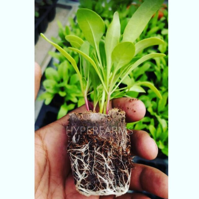 Seedlings in Hydroponics  Healthy seedlings with good root system is a must for producing great crops. Seedlings should receive a complete nutrition from Day 1 of their germination. These are spinach seedlings raised in coco peat pots called ellepots.  Swipe to see the roots  . . . . . . . . #seedlings #transplant #whiteroots #nft #ellepot #cocopeat #spinach #plantaddict #nammabengaluru #kitchengardening #seedstarting #germination #gardeningworkshop  #agritech #agtech #horticulture #hydroponicsystem #greenhousegrown #plantaseedday #foodsecurity #iamamodernfarmer #modernfarming #growers #urbanagriculture #growingfood #realfood #cleaneating