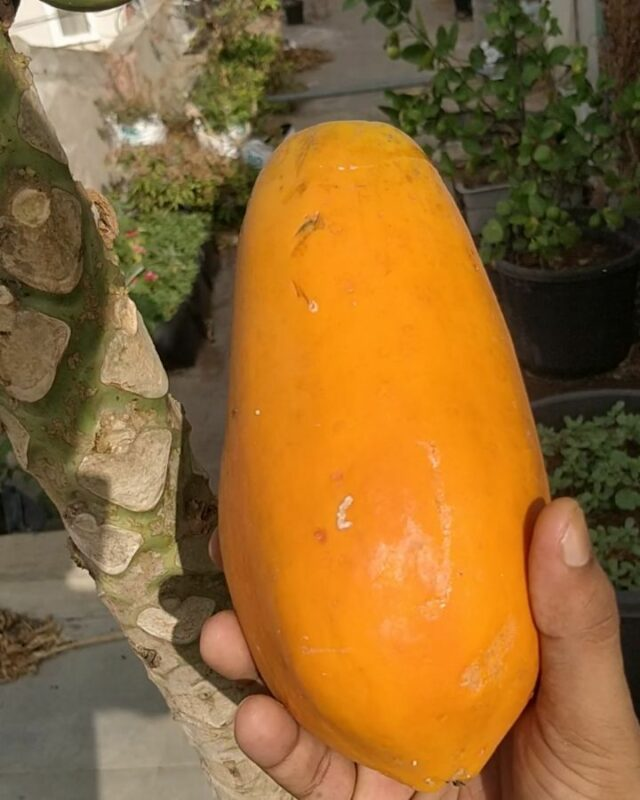 "More papaya harvests  We are getting approx two to three papaya per month. Not bad for a tree growing in a pot.  This time my neighbour reminded that is ready for harvest...😊 Details:  22"" pot Cocopeat 90% Soil 10% Hydroponics bloom nutrients Variety: Red lady . . . . .  #growyourownfood #farmfresh #farmtofork  #harvest #hydroponics  #instafarm #urbanfarmer #soilless  #cooking #veganfood #healthyeating #beaseedofchange #plantaddict #plantaddiction #agritech #agtech #horticulture #hydroponicsystem #greenhousegrown #plantaseedday #foodsecurity #iamamodernfarmer #modernfarming #growers #urbanagriculture #growingfood #realfood #treesincontainers #papaya"