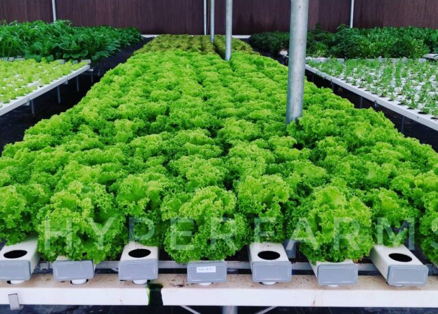Green loose leaf lettuce  Fresh lettuce ready for harvest from our farms.  We have always been producing clean food that is grown responsibly. That's  the need of the hour now. . . . . . . . . .  #growyourownfood #farmfresh #farmtofork  #harvest #hydroponics  #instafarm #urbanfarmer #soilless #urbanfarm  #cooking #veganfood #healthyeating  #agritech #agtech #horticulture #hydroponicsystem #greenhousegrown #plantaseedday #foodsecurity #iamamodernfarmer #modernfarming #growers #urbanagriculture #growingfood #realfood #cleaneating #plantbased #lockdown2020