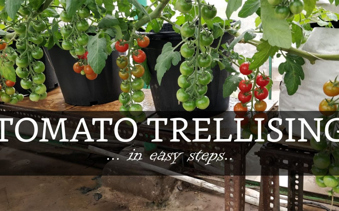 Guide to Trellising tomato plants – How to train tomato plants